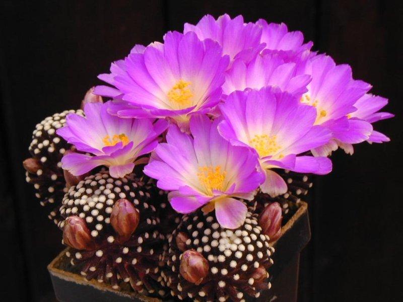 Культивирование кактусов в квартире