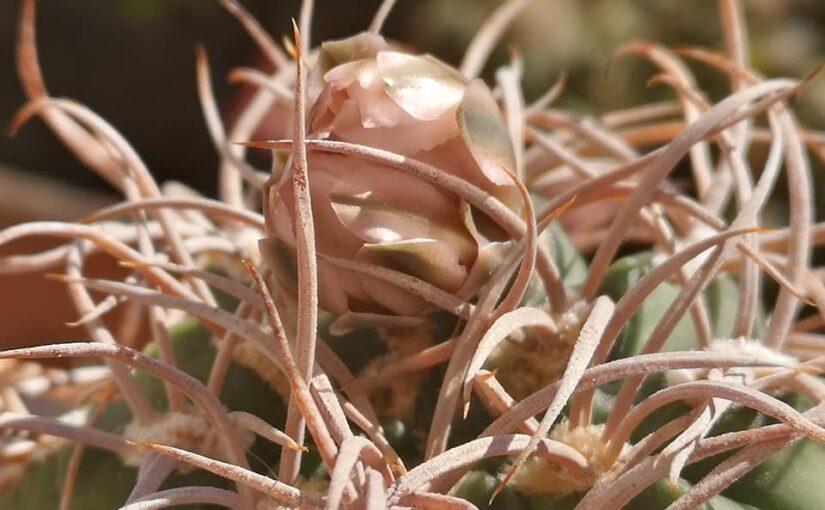 Болезни и вредители кактусов