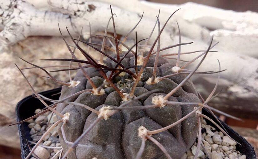 Вегетативное размножение кактусов