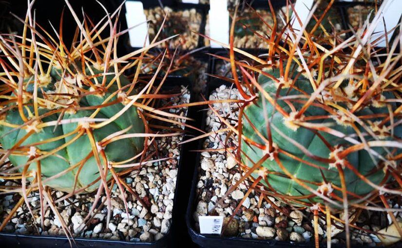 Посев кактусов
