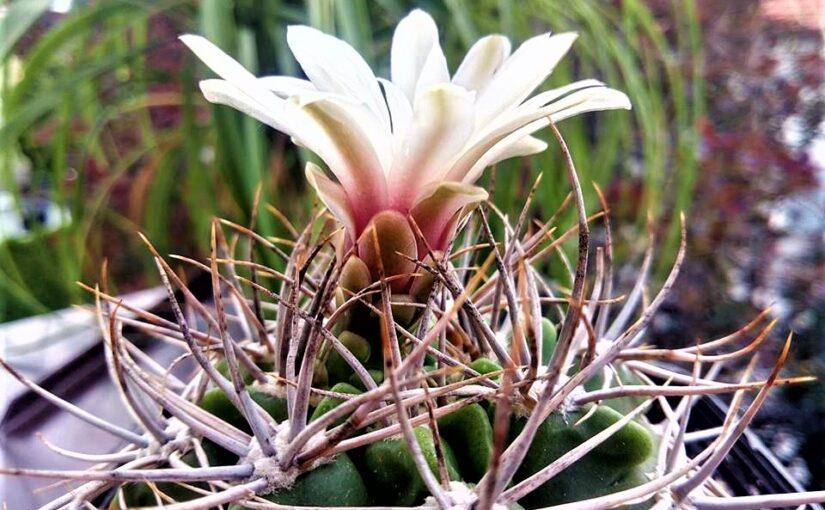 Теплота для кактусов